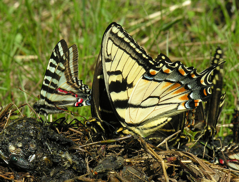 Zebra, Palamedes, and Tiger swallowtails on black bear poop<br /> Great Dismal Swamp National Wildlife Refuge, near Suffolk, VA