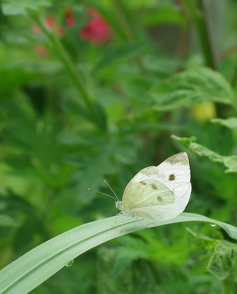 Cabbage white butterfly<br /> Ag Reserve, Upper Montgomery County, MD