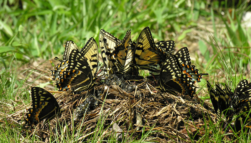 Swallowtail frenzy on black bear poop<br /> Great Dismal Swamp National Wildlife Refuge, near Suffolk, VA