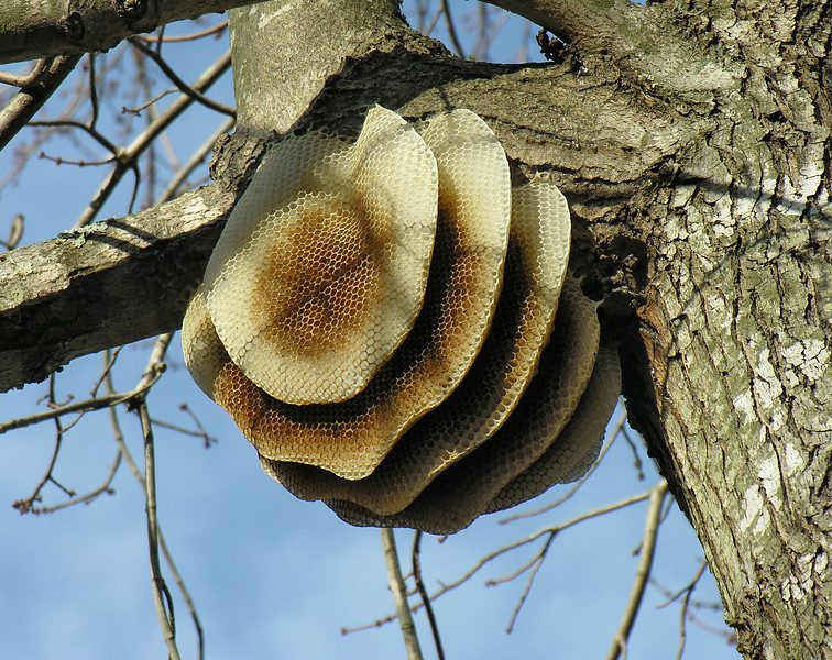 Honey bee nest (atypically exposed, vertical honeycombs)<br /> Battle Creek Cypress Swamp, near Prince Frederick, MD