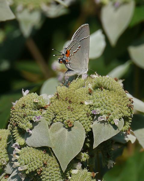 Gray hairstreak (<I>Strymon melinus</I>) on short-toothed mountain mint (<I>Pycnanthemum muticum</I>) Woodend Sanctuary, Chevy Chase, MD