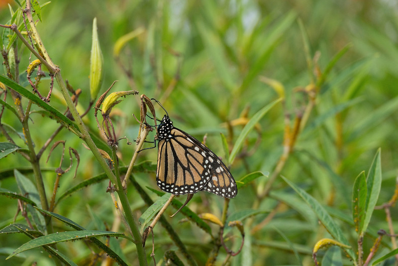 Monarch in milkweed/dogbane patch<br /> Black Hill Regional Park, Boyds, MD