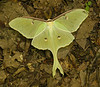 Luna moth (<i>Actias luna</i>) George Washington National Forest, Fort Valley area, VA