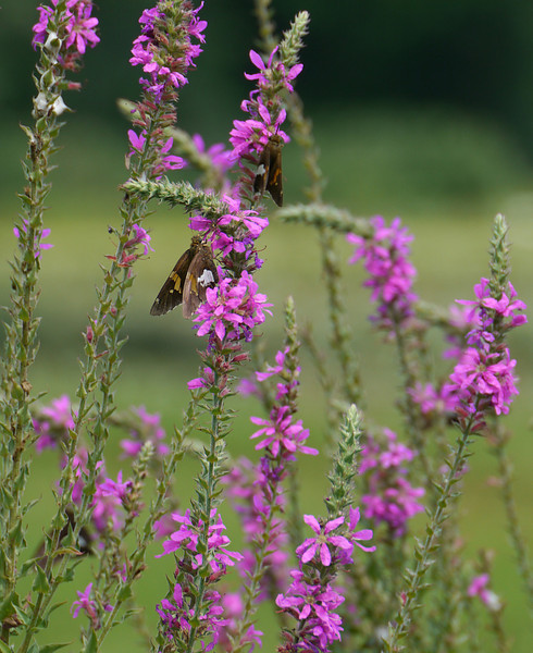 "Silver-spotted skippers love the purple loosestrife (<i>Lythrum salicaria</i>) <span class=""nonNative"">[non-native invasive]</span> McKee-Beshers Wildlife Mgt Area, Poolesville, MD"