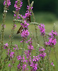 """Silver-spotted skippers love the purple loosestrife (<i>Lythrum salicaria</i>) <span class=""""nonNative"""">[non-native invasive]</span> McKee-Beshers Wildlife Mgt Area, Poolesville, MD"""