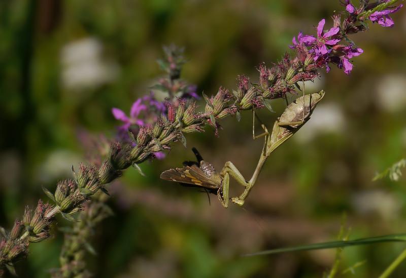 Praying mantis (female Carolina?) on loosestrife wins battle with silver-spotted skipper<br /> Kenilworth Aquatic Gardens, Washington, DC