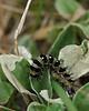 American lady caterpillar (<I>Vanessa virginiensis</I>) Hupps Hill Karst Trail, Strasburg, VA
