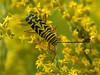Locust borer beetle (<I>Megacyllene robiniae</I>) camouflaged on goldenrod, feeding on pollen Rachel Carson Conservation Park, Brookeville, MD
