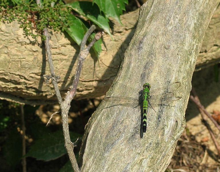 Eastern pondhawk dragonfly (<I>Erythemis simplicicollis</I>, female Purse State Park, Marbury, MD