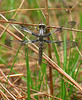 Common whitetail dragonfly (<I>Libellula lydia</I>), female Jug Bay Wetlands Sanctuary, Lothian, MD