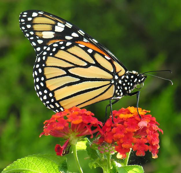 Monarch butterfly (<I>Danaus plexippus</I>) Brookside Gardens, Wheaton, MD