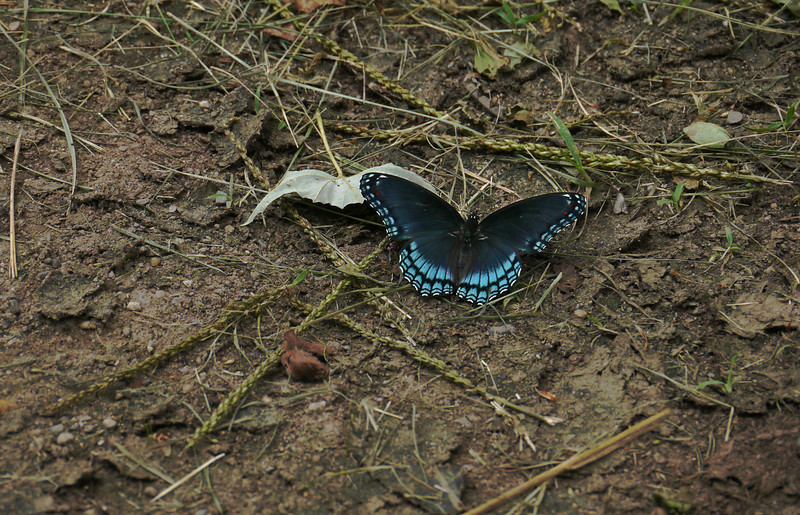 "<A HREF=""http://en.wikipedia.org/wiki/Red_spotted_purple"" TARGET=""_blank"">Red-spotted purple (<I>Limenitis arthemis</I>)</A> at Hughes Hollow McKee Beshers Wildlife Mgt Area, Poolesville, MD"