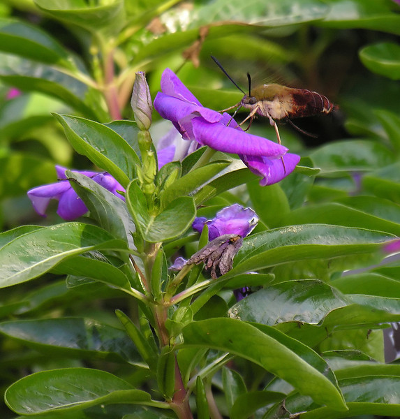 Hummingbird clearwing moth (<I>Hemaris thysbe</I>) Brookside Gardens, Silver Spring, MD