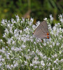 Gray hairstreak (<I>Strymon melinus</I>) on boneset Point Lookout State Park, Scotland, MD