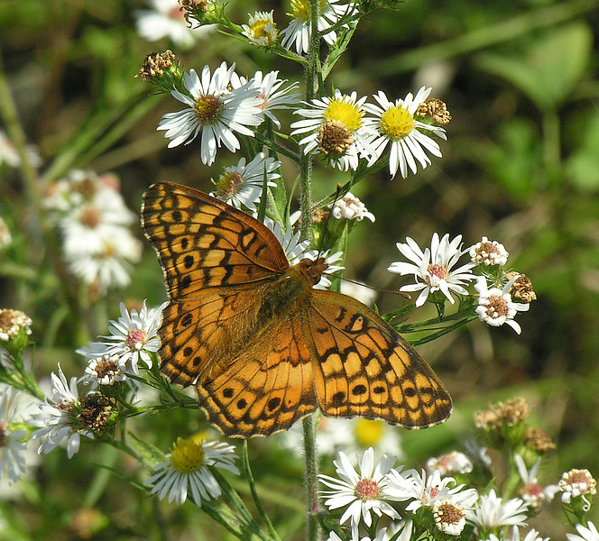 Variegated fritillary (<I>Euptoieta claudia</I>) on aster (white wood aster?) Port Deposit along Susquehanna, MD