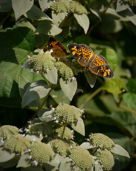 Pearl crescent butterflies on short-toothed mountain mint (<I>Pycnanthemum muticum</I>) Woodend Sanctuary, Chevy Chase, MD