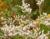 Ladybug on late-flowering boneset (<I>Eupatorium serotinum</I>) in field La Plata, MD