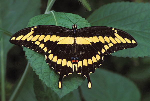 """Giant swallowtail (<I>Papilio cresphontes</I>) <span class=""""nonNative"""">[captive]</span> Brookside Gardens """"Wings of Fancy"""" exhibit, Wheaton, MD"""