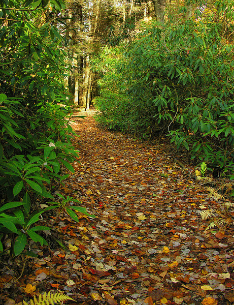 Rhododendron-lined trail (<I>Rhododendron maximum</I>) in autumn Michaux State Forest, PA