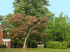 Trees on north side lawn in early autumn<br /> Woodend Sanctuary, Chevy Chase, MD