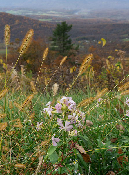 "Soapwort (<i>Saponaria officinalis</i>) along Skyline Drive in autumn <span class=""nonNative"">[non-native]</span> Shenandoah National Park, VA"
