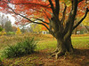 Champion Japanese maple (<I>Acer palmatum</I>) & yucca in autumn Woodend Sanctuary, Chevy Chase, MD