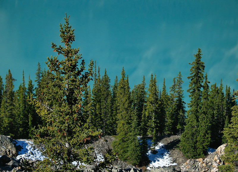 Evergreens against Peyto Lake<br /> Banff National Park, Alberta, Canada