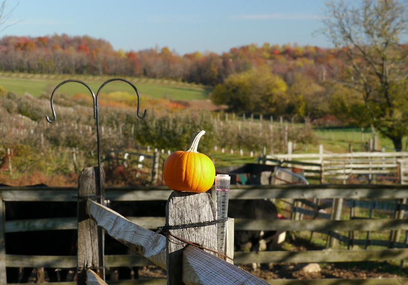 Cattle fence seasonal decoration at Kingsbury's Orchard<br /> Dickerson, MD