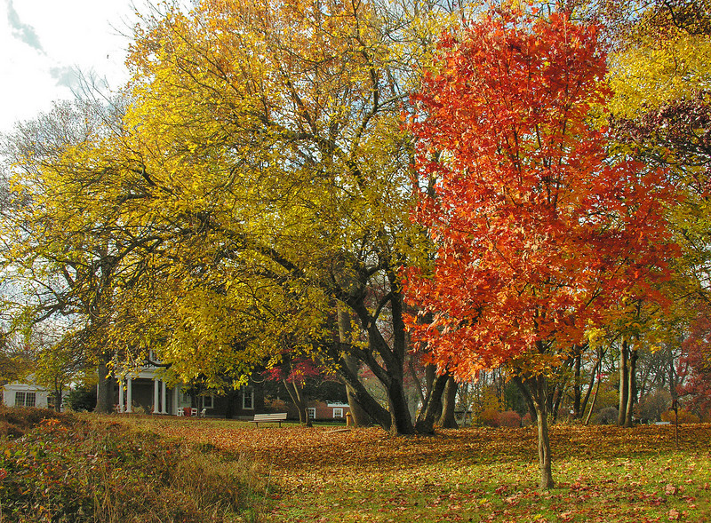 Sugar maple & other trees on east lawn in autumn<br /> Woodend Sanctuary, Chevy Chase, MD