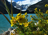 Shrubby cinquefoil (<i>Dasiphora fruticosa</i>, formerly <i>Potentilla fruticosa</i>) at Lake Louise Banff National Park, Alberta, Canada