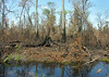 Swamp shortly after a forest fire<br /> Great Dismal Swamp National Wildlife Refuge, near Suffolk, VA