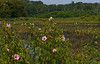 Egrets & halberdleaf rosemallows (<I>Hibiscus laevis</I>) in Hughes Hollow freshwater impoundment McKee-Beshers Wildlife Mgt Area, Poolesville, MD