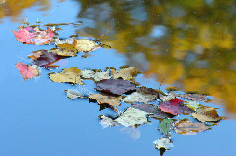 Autumn keaves in and on pond<br /> Michaux State Forest, PA