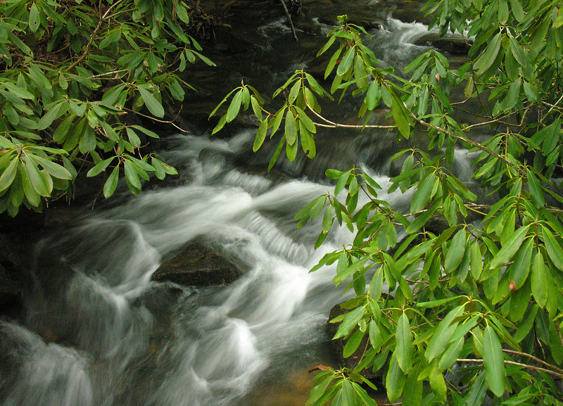 Rhododendron-thicketed creek (<I>Rhododendron maximum</I>) Cathedral State Park, Aurora, WV