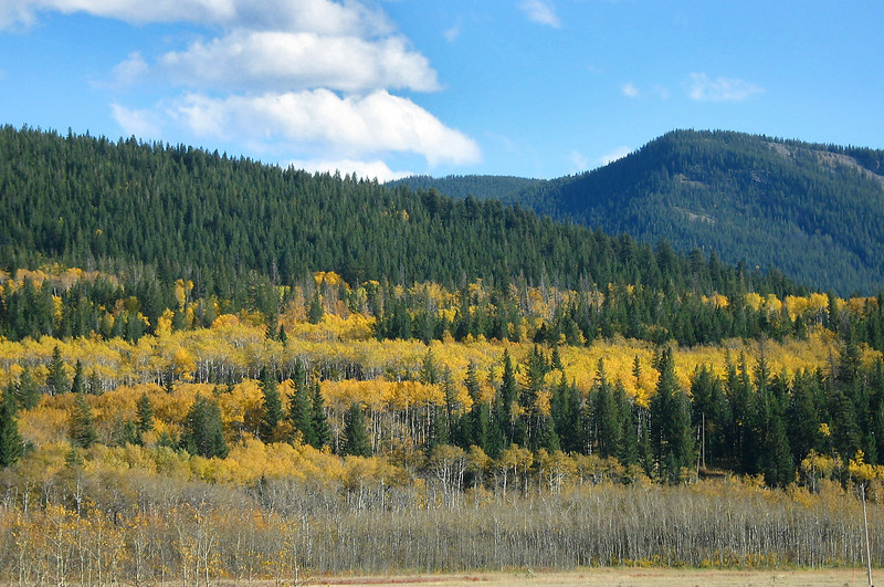 Rows of golden Aspens among the evergreens at the foothills of the Rockies<br /> West of Calgary, Alberta, Canada