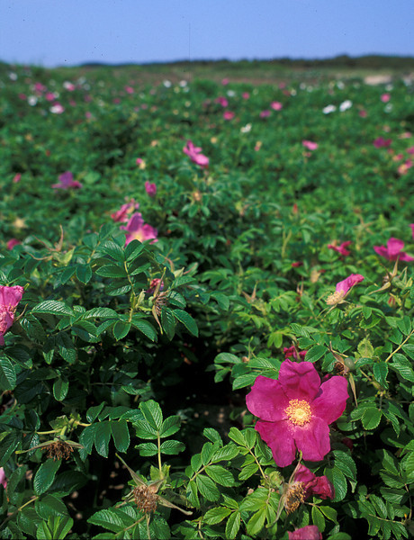 """Field of salt-spray roses (<i>Rosa rugosa</i>) at Race Point <span class=""""nonNative"""">(non-native, naturalized)</span> Cape Cod, MA"""
