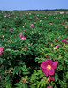 "Field of salt-spray roses (<i>Rosa rugosa</i>) at Race Point <span class=""nonNative"">(non-native, naturalized)</span> Cape Cod, MA"