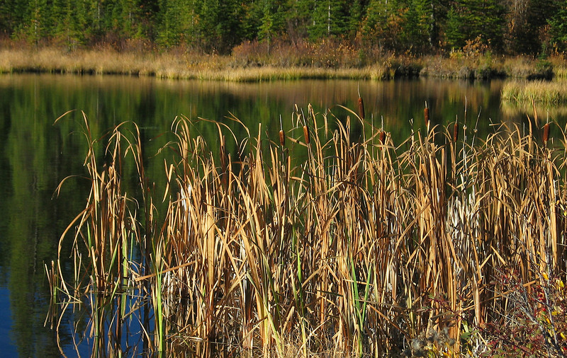 Cattails in morning light at Vermillion Lakes<br /> Banff National Park, Alberta, Canada
