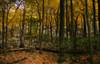 Tulip trees along rocky ridge <I>(Orton effect)</I> Sugarloaf Mountain, Barnesville, MD
