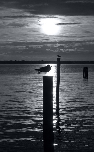 Gulls silhouetted by sun setting over Potomac River<br /> Newburg, MD