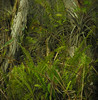 Camouflaged American bittern in swamp (see it?)<br /> Big Cypress National Preserve, FL