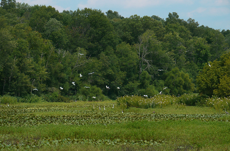 Egrets in Hughes Hollow freshwater impoundment<br /> McKee Beshers Wildlife Mgt Area, Poolesville, MD