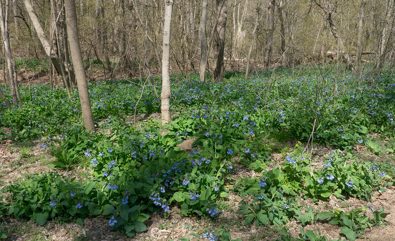 Potomac floodplain blanketed with Virginia bluebells (<I>Mertensia virginica</I>) Riverbend Park, Great Falls, VA