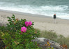 "Salt-spray roses (<i>Rosa rugosa</i>) <span class=""nonNative"">(non-native, naturalized)</span> and fisherman Chatham Light Beach, Chatham, Cape Cod, MA"