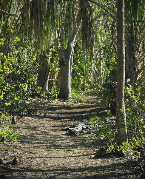 Alligator waddling down trail<br /> Shark Valley, Everglades National Park, FL