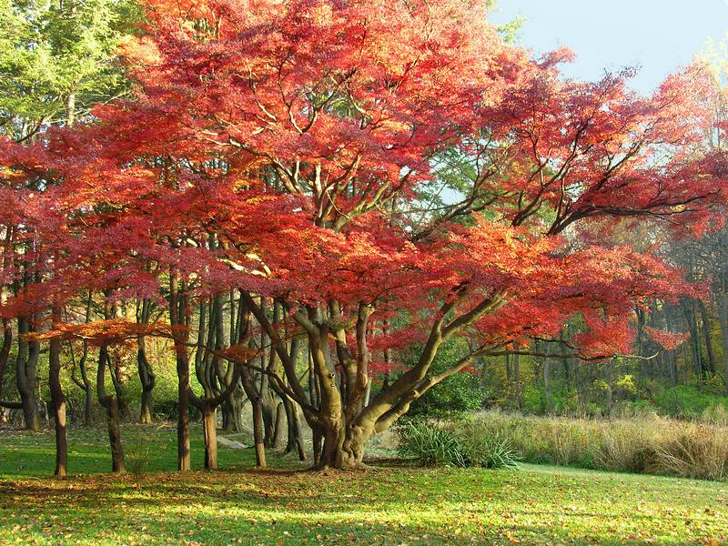 Champion Japanese maple (<I>Acer palmatum</I>) in autumn Woodend Sanctuary, Chevy Chase, MD