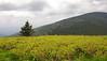 Blueberry heath along Appalachian Trail<br /> Carvers Gap, Pisgah-Cherokee National Forest, NC/TN border