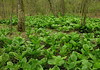 Carpet of eastern skunk cabbage (<I>Symplocarpus foetidus</I>) Rachel Carson Conservation Park, Brookeville, MD