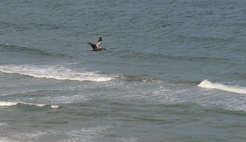 Brown pelican surveying for prey<br /> Carolina Beach, NC