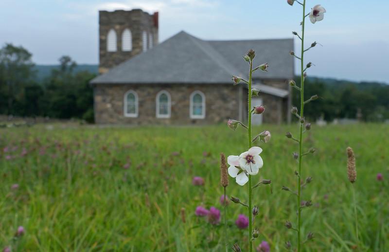 "Moth mullein (<I>Verbascum blattaria</I>) by Mt. Moriah Lutheran Church cemetery <span class=""nonNative"">[Non-native invasive]</span> Catoctin Mountain Nat'l Park, Frederick County, MD"